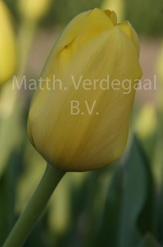 Tulipa Conqueror