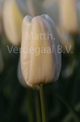 Tulipa Snow Board