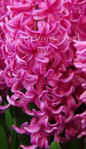 Hyacinthus Johanna