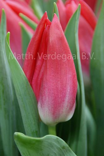 Tulipa Bolroyal Pink