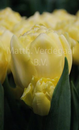 Tulipa Bowl of Beauty