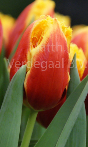 Tulipa Davenport