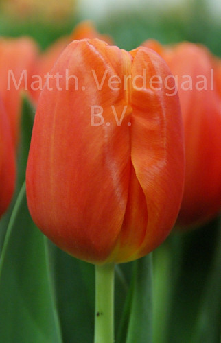 Tulipa Orange Juice