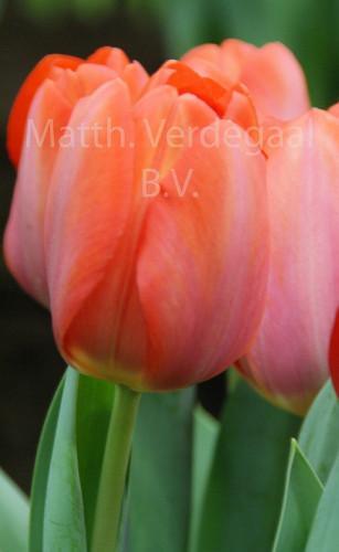 Tulipa Orange van Eijk