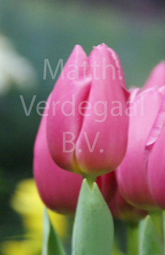 Tulipa Pink Twist