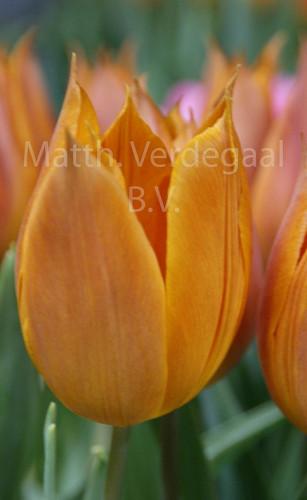Tulipa Request