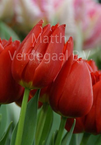 Tulipa Vesna