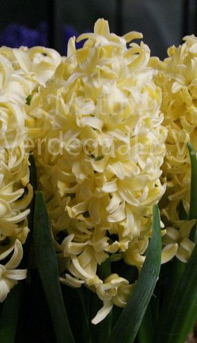 Hyacinthus Bonbini