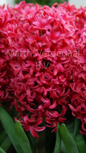 Hyacinthus Love Affair