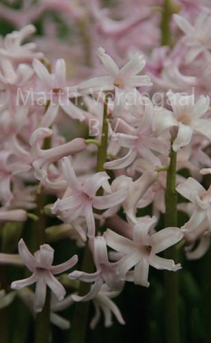 Hyacinthus Roze Anastasia