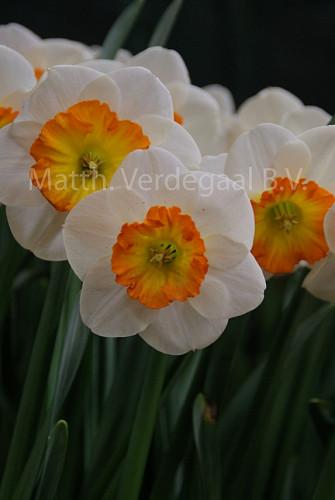 Narcissus Cartel