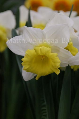 Narcissus Cornish King