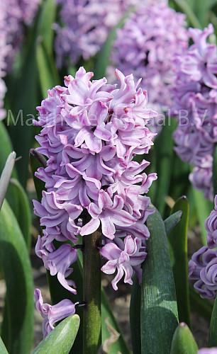Hyacinthus Splendid Cornelia