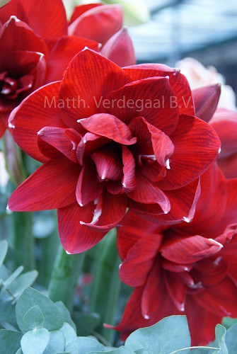 Amaryllis Red Glory