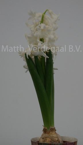Hyacinthus Pallas