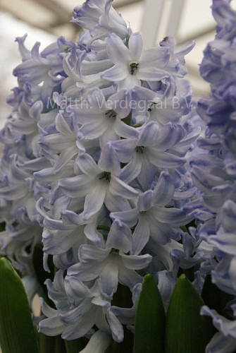 Hyacinthus Blue Eyes