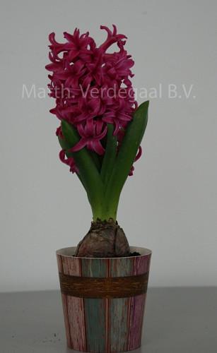 Hyacinthus Scarlet Pearl