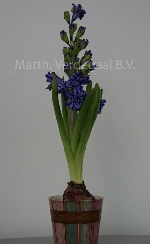 Hyacinthus Twin Pearl Blauw