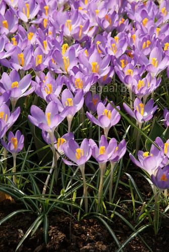 Crocus Barr's Purple