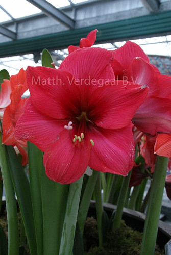Amaryllis Stripped Echo