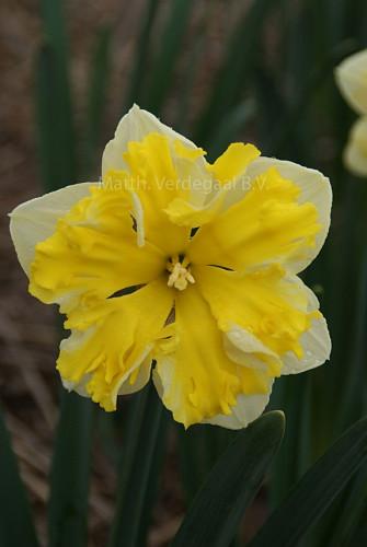 Narcissus Banana Splash