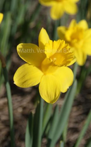 Narcissus Barenwyn