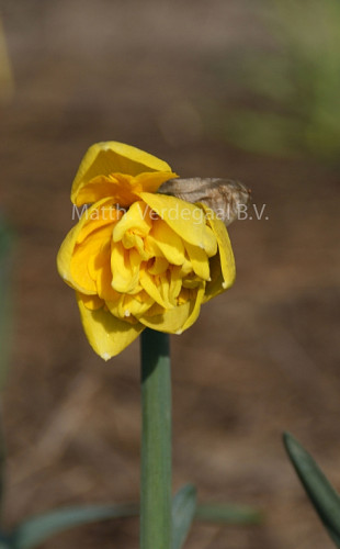 Narcissus Gentle Giant