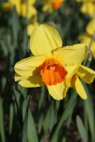 Narcissus Monal