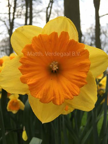 Narcissus Akita