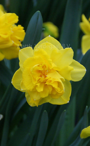 Narcissus Double Gold Medal