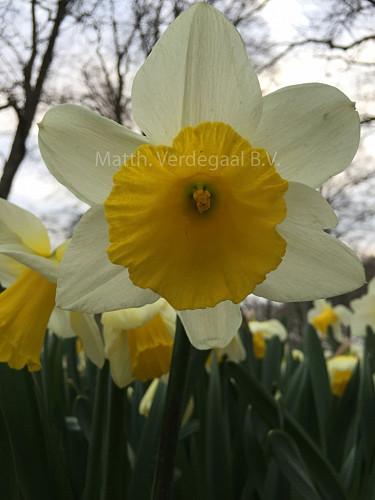 Narcissus Thomas Mason