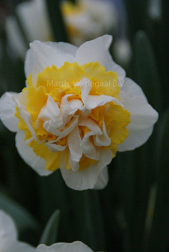 Narcissus Westward