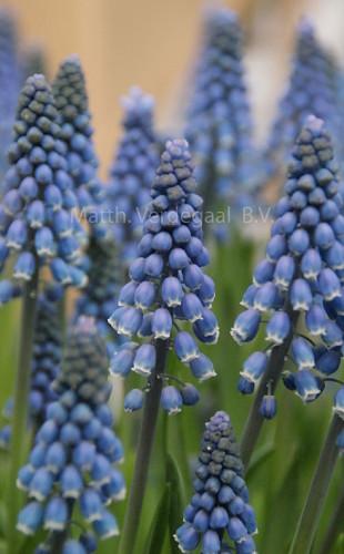Muscari Blue Mount Lady