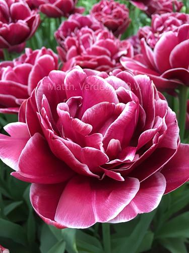 Tulipa Dream Touch