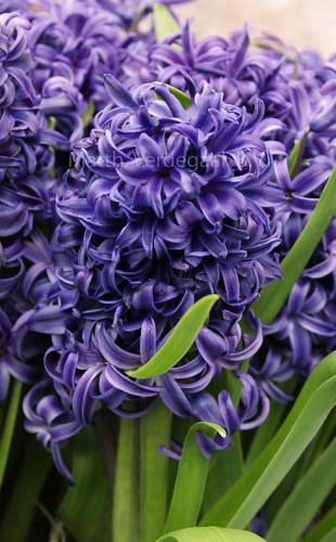 Hyacinthus Blue Pearl