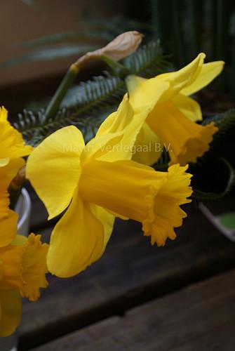 Narcissus Arkle