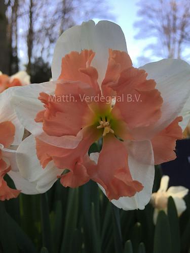 Narcissus Casanova