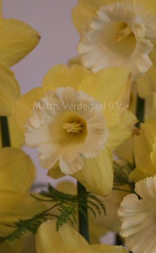 Narcissus Galactic Star
