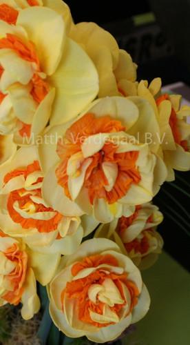 Narcissus Kiwi Sunset