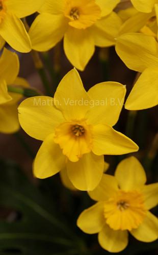 Narcissus Marzo
