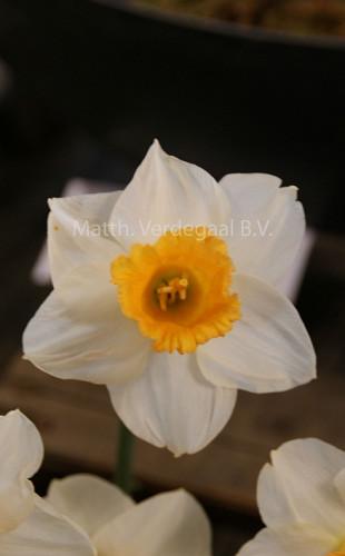 Narcissus Orange Sunset