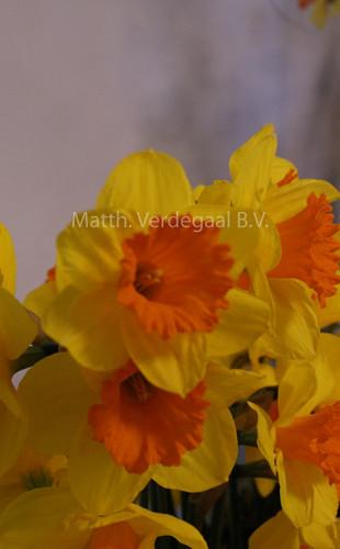 Narcissus Pimpernel