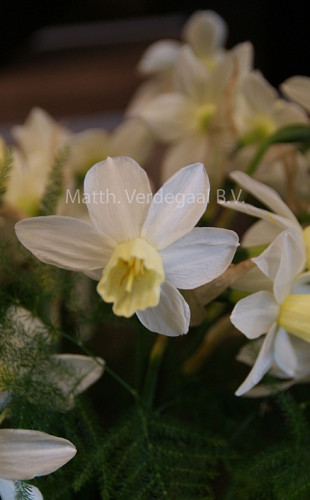 Narcissus Sailboot