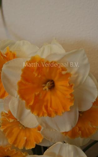 Narcissus Soestdijk