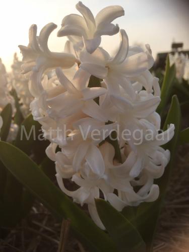 Hyacinthus Antarctica