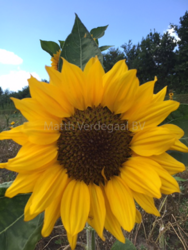 Helianthus (seeds)