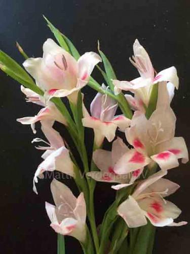 Gladiolus nanus Carine